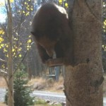 Bears love to climb trees and will sit on almost anything available!
